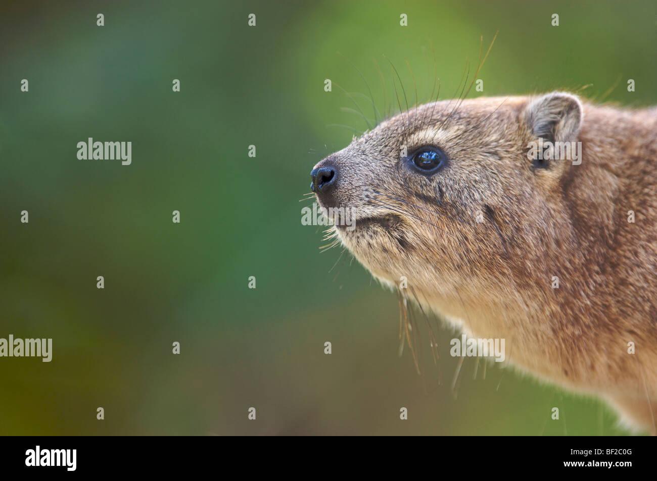 Profil von Schuss Klippschliefer (Procavia Capensis), Ithala Game Reserve, nördliche Provinz KwaZulu-Natal, Stockbild