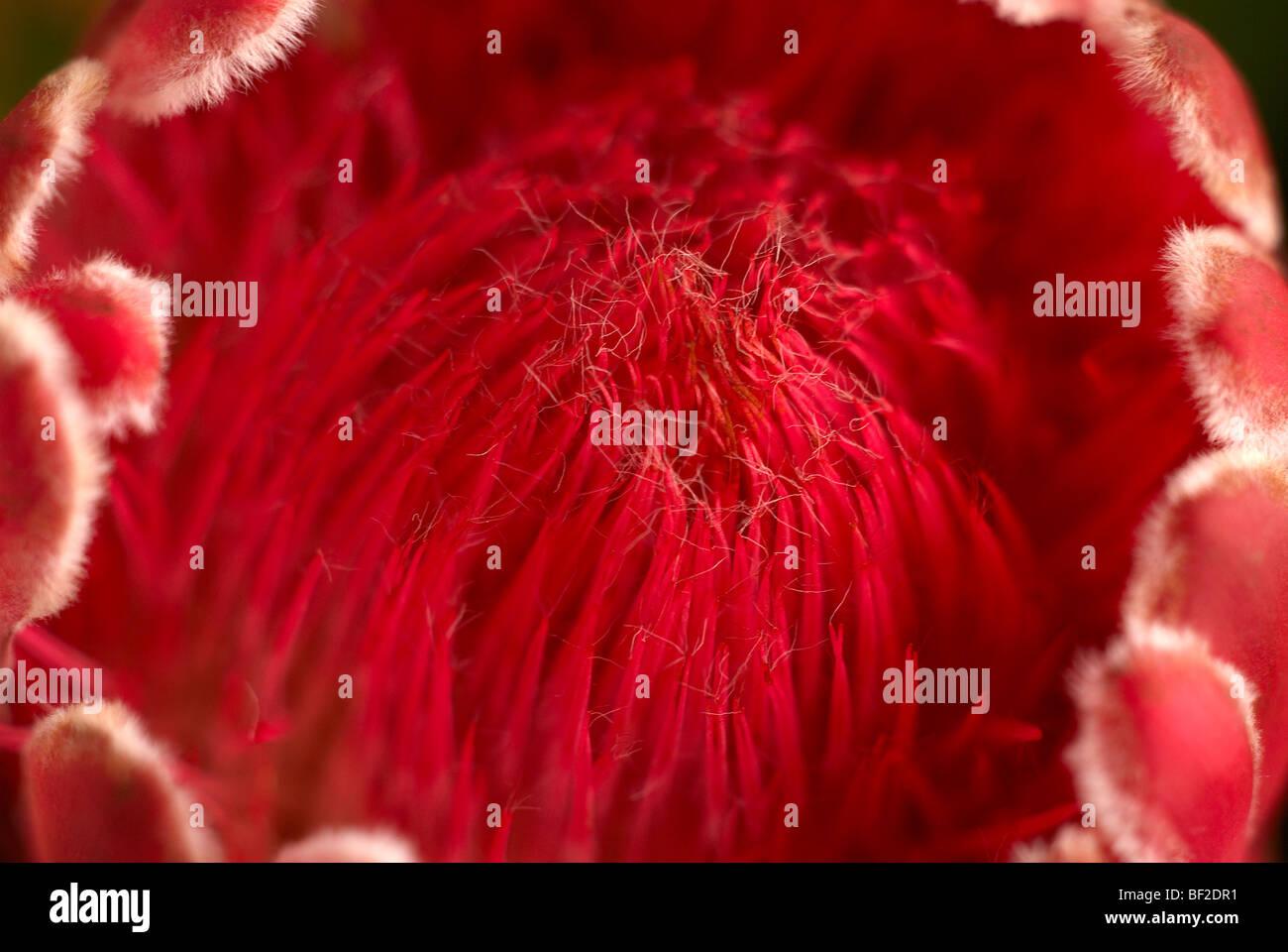Protea, rot protea, pelzigen protea, Fynbos, Proteacease, südafrikanische Nationalblume Stockbild