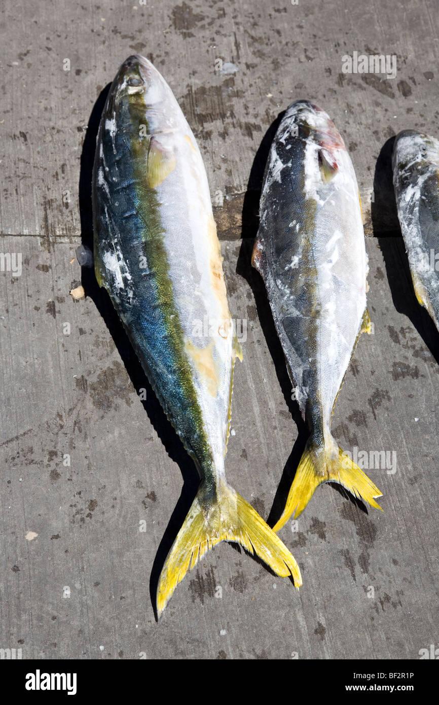 Yellow Tail Fisch Stockbild