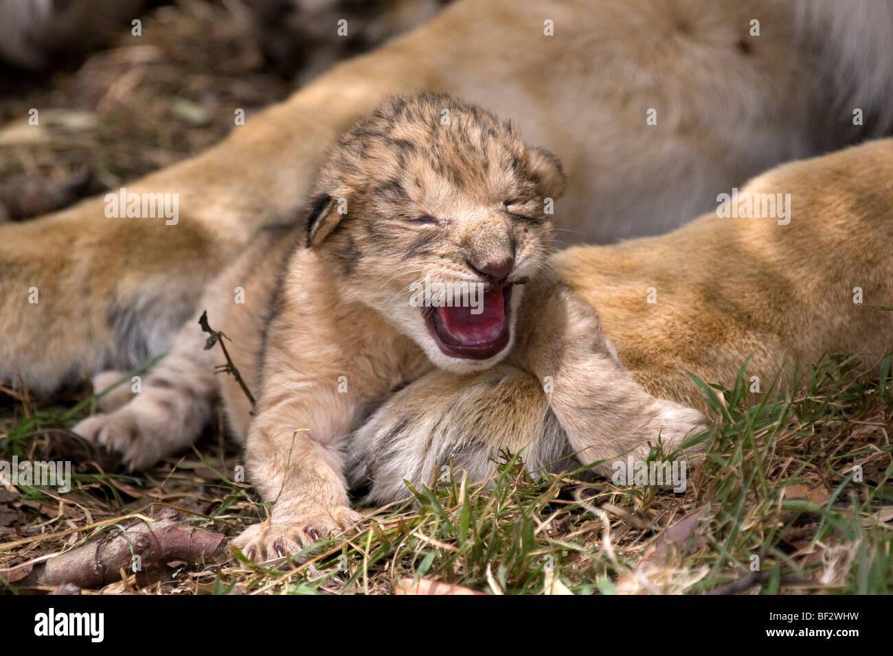 Tag alte Löwenjunges macht seine ersten brüllen Stockbild