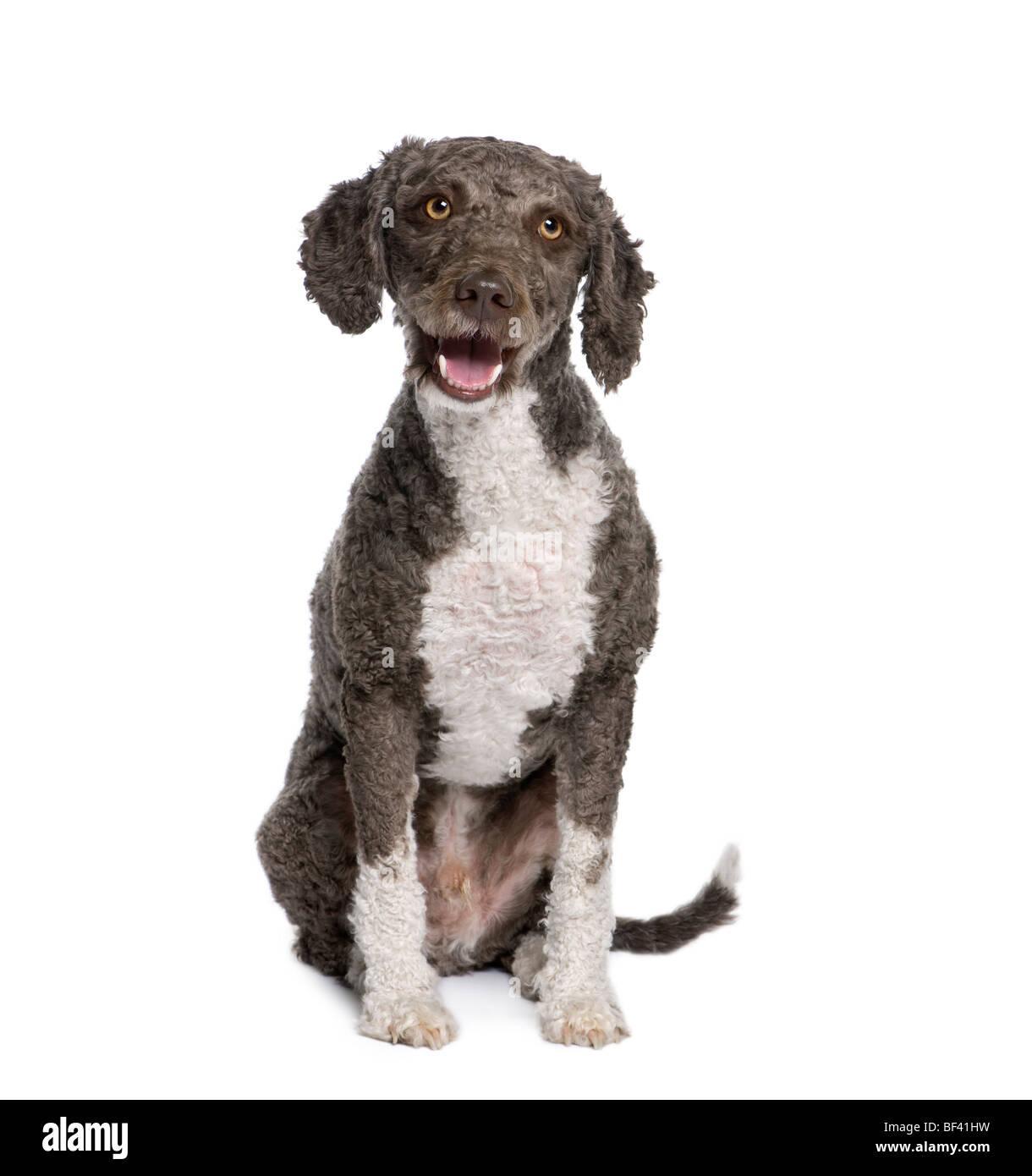 Spanische Wasser Spaniel Hund, 3 Jahre alt, sitzt vor weißem Hintergrund, Studio gedreht Stockbild