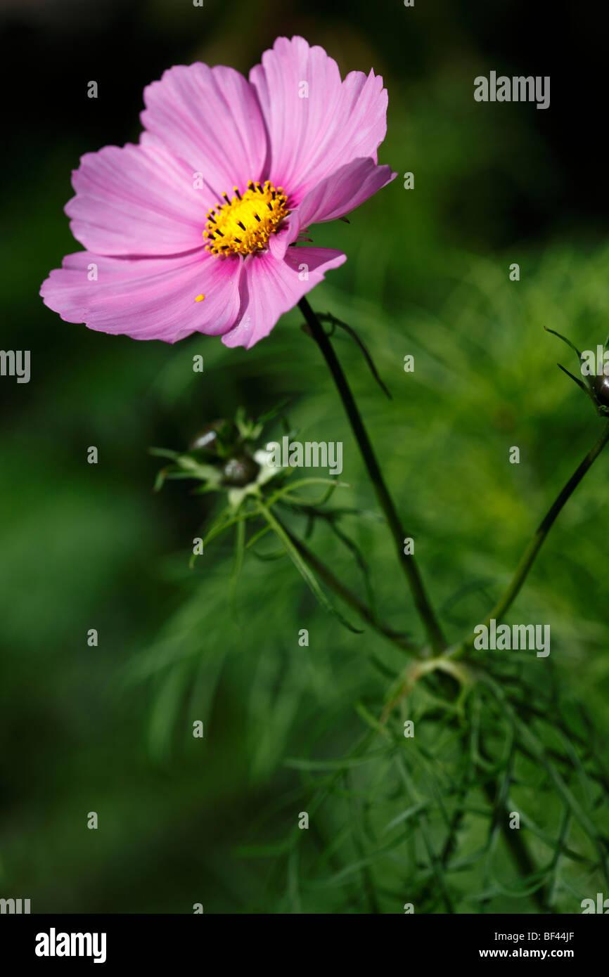 Schöne rosa Cosmos in sanfte Sommersonne Stockbild