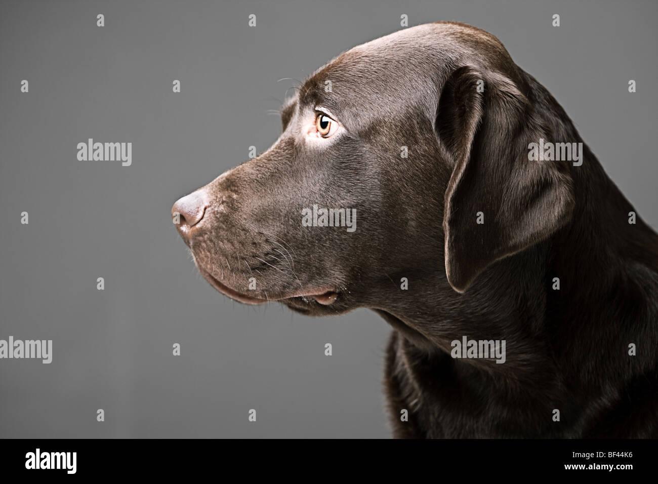 Profil-Bild von ein schöner Chocolate Labrador Rüde Stockbild