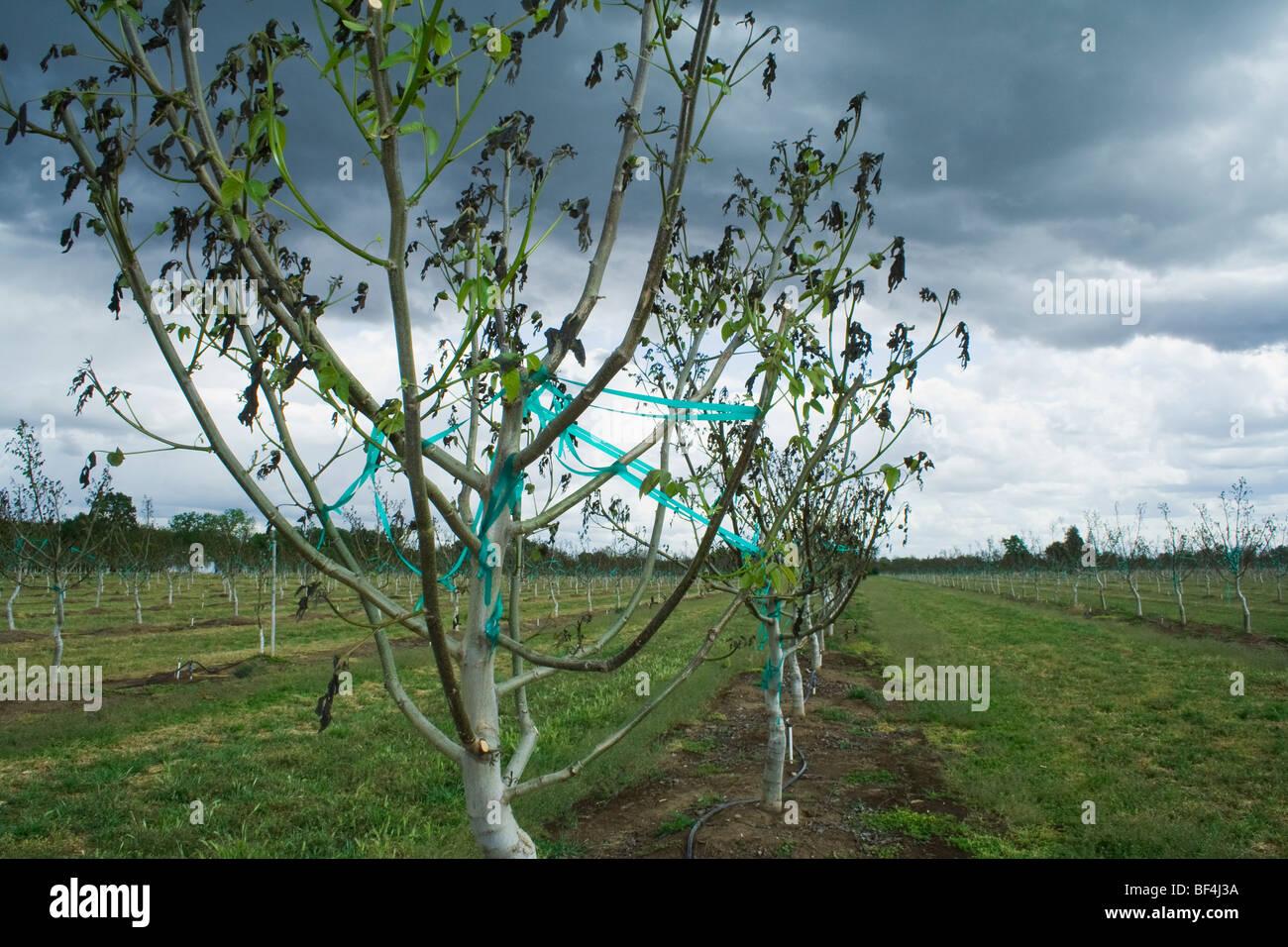 Landwirtschaft - Schaden Walnuss Bäume verursacht durch eine schwere ungewöhnliche Frühling Einfrieren Stockbild