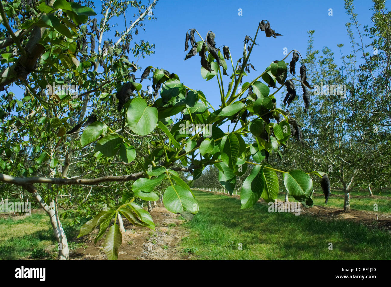 Landwirtschaft - Schaden Nussbaum Laub verursacht durch eine schwere ungewöhnliche Frühling Einfrieren Stockbild