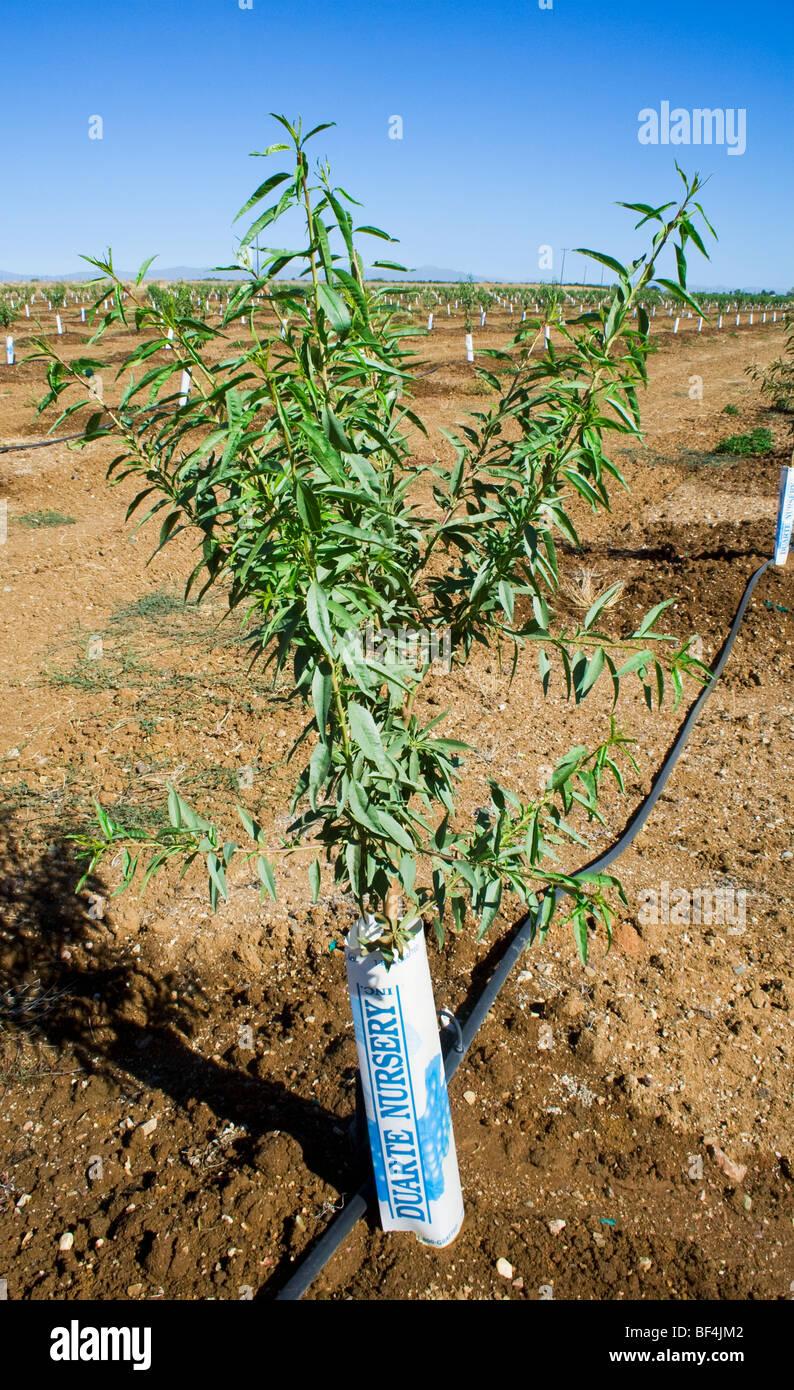 Reihen von jungen Mandelbäume in einem vor kurzem gepflanzten Obstgarten. Die Bäume haben Nagetiere Protektoren Stockbild