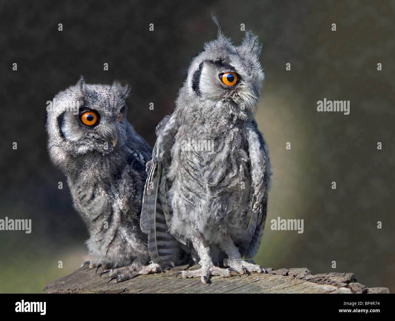 Weißen konfrontiert Zwergohreule Eule Jungvögel (Ptilopsis Leucotis) Stockfoto