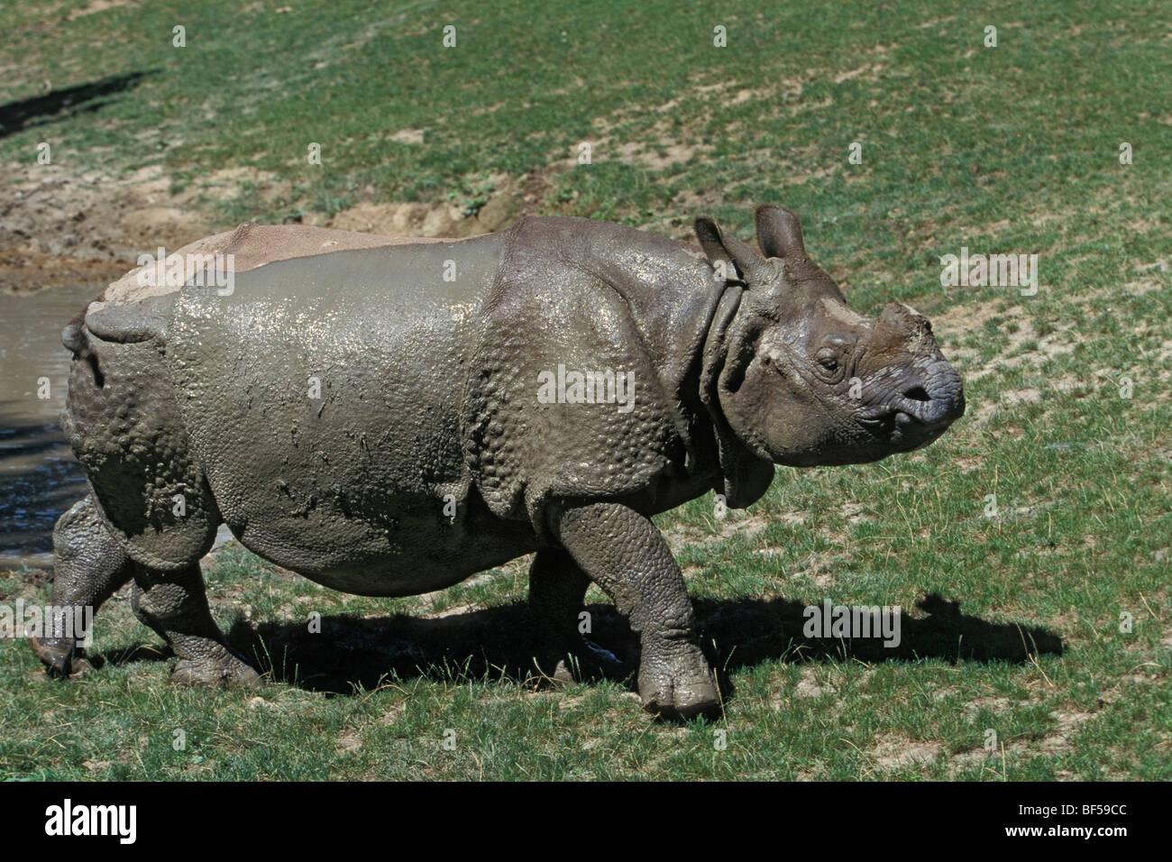 Große indische Nashorn (Rhinoceros Unicornis) nach Einnahme Schlammbad, Gefangenschaft, Indien Stockbild