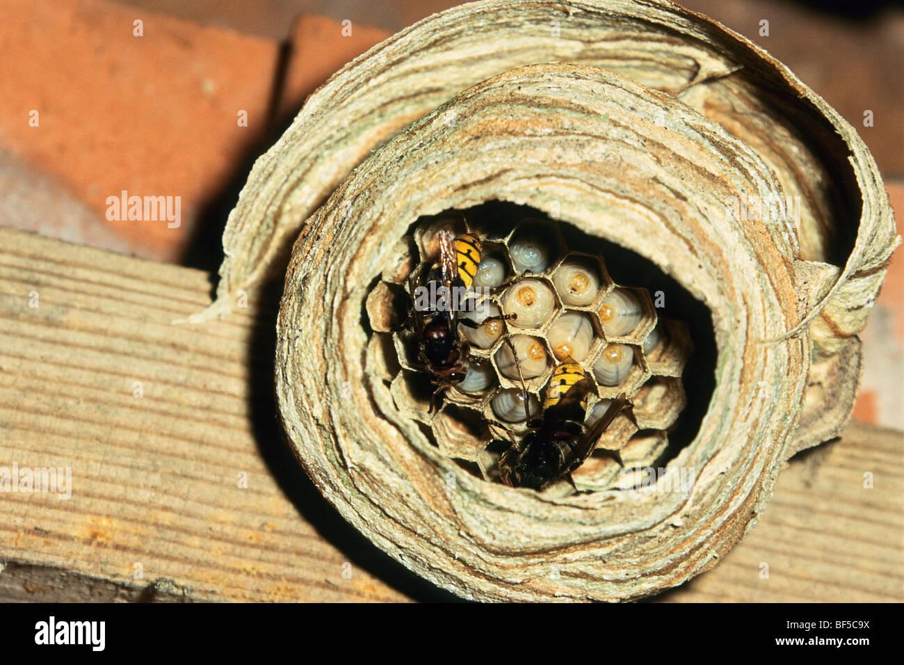 Hornissen (Vespa Crabro) am Nest mit Larven, Deutschland, Europa Stockbild