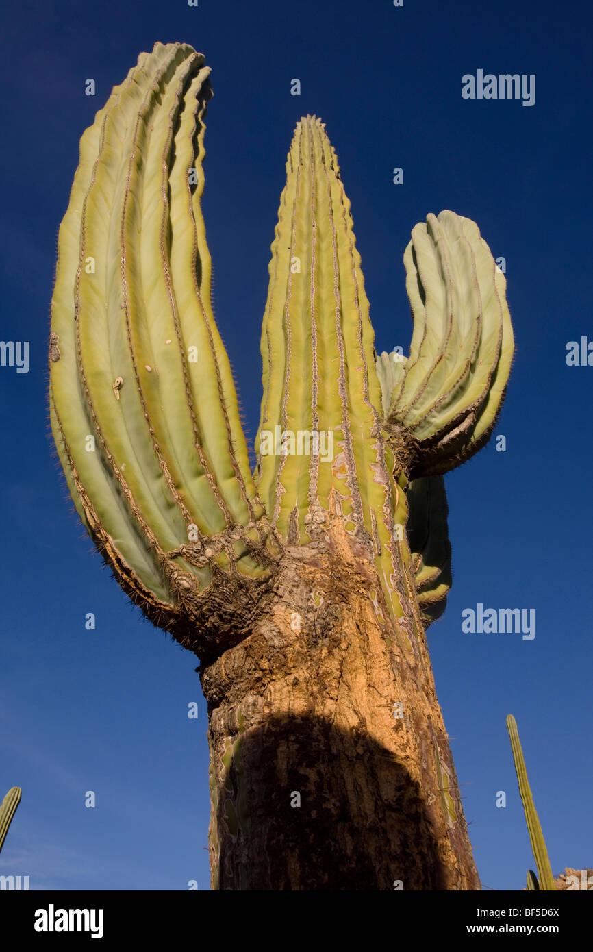 Riesigen Saguaro (Carnegiea Gigantea), Baja California. Stockfoto