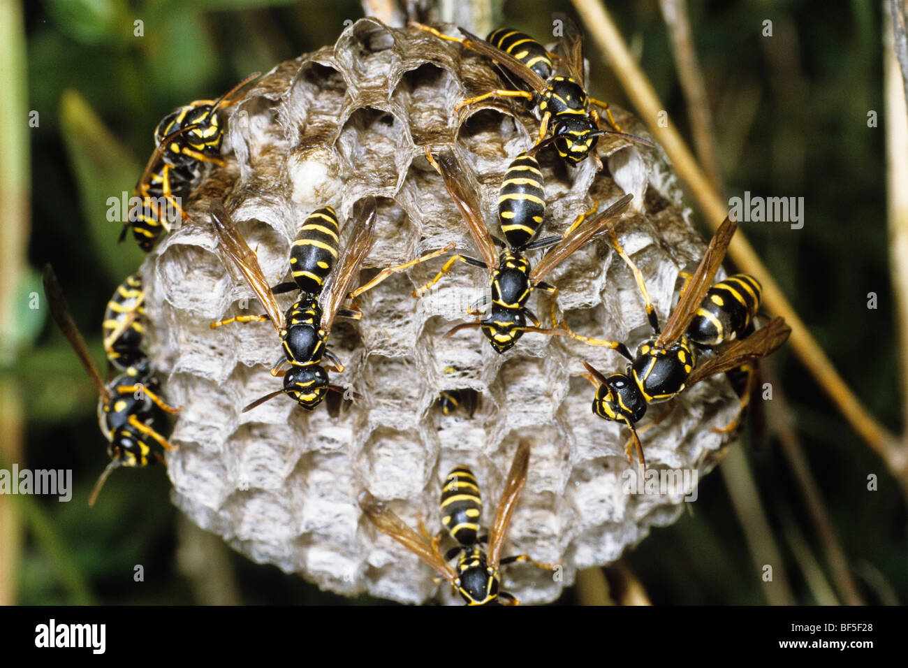 wasps stockfotos wasps bilder alamy. Black Bedroom Furniture Sets. Home Design Ideas