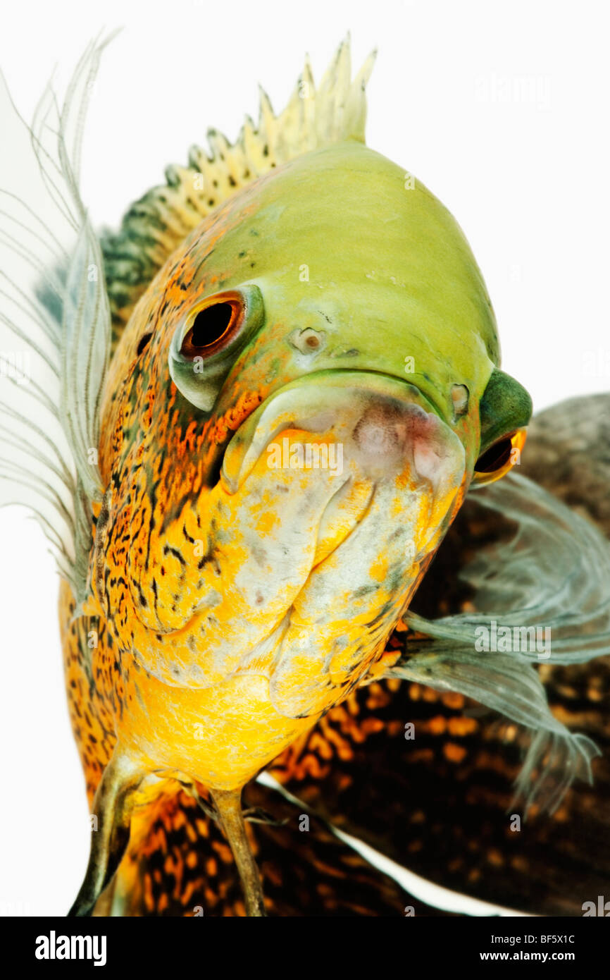 Oscar-Fisch (Astonotus Ocellatus). Tropische Süßwasser-Fische aus Südamerika Stockbild