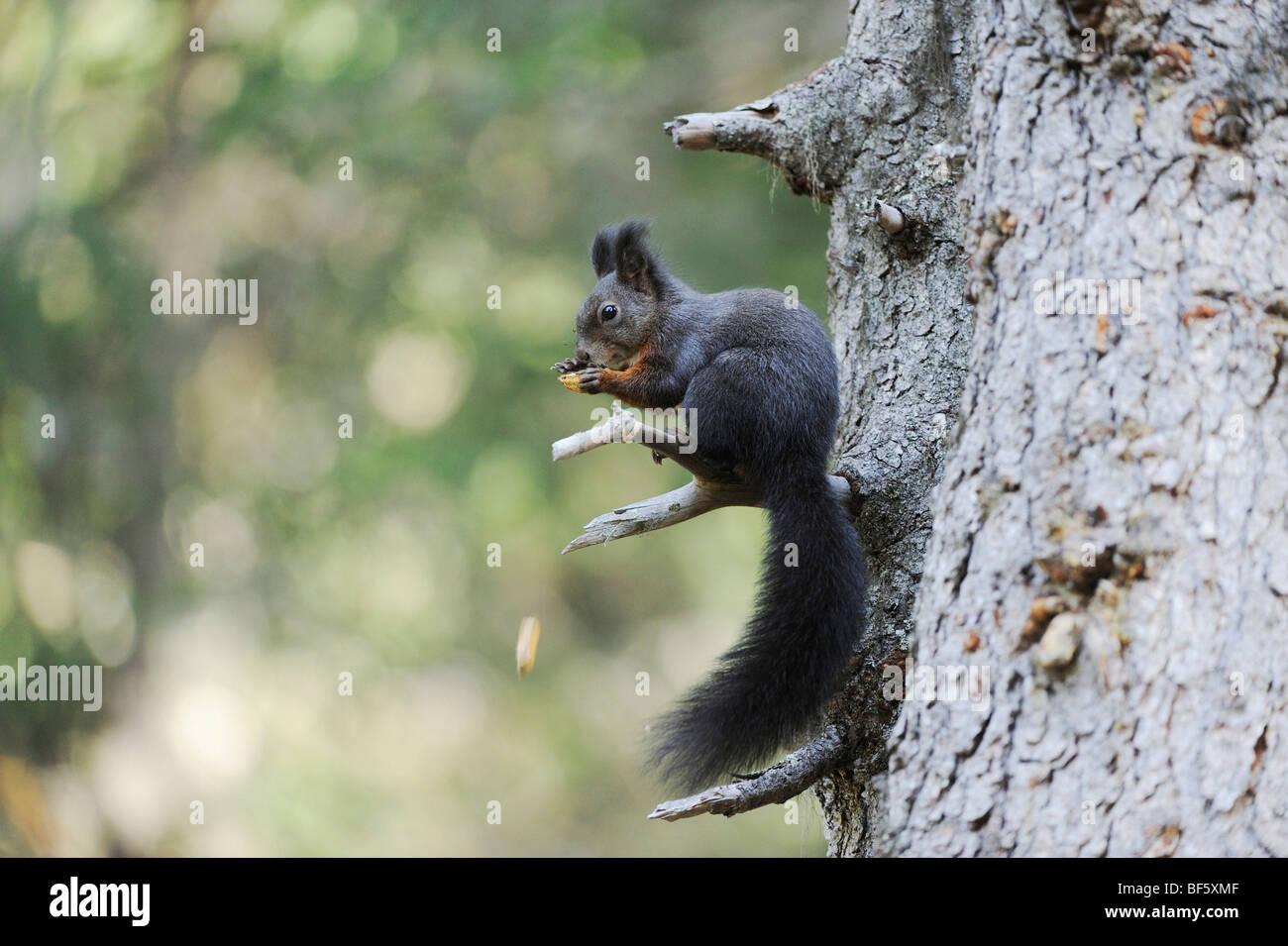 Eichhörnchen erwachsen
