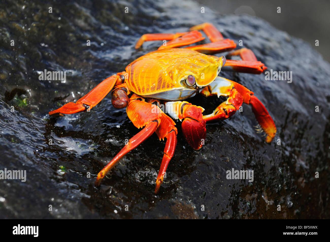 Sally Lightfoot Krabben (Grapsus Grapsus), Erwachsene, Espa Ola Insel, Galapagos, Ecuador, Südamerika Stockbild