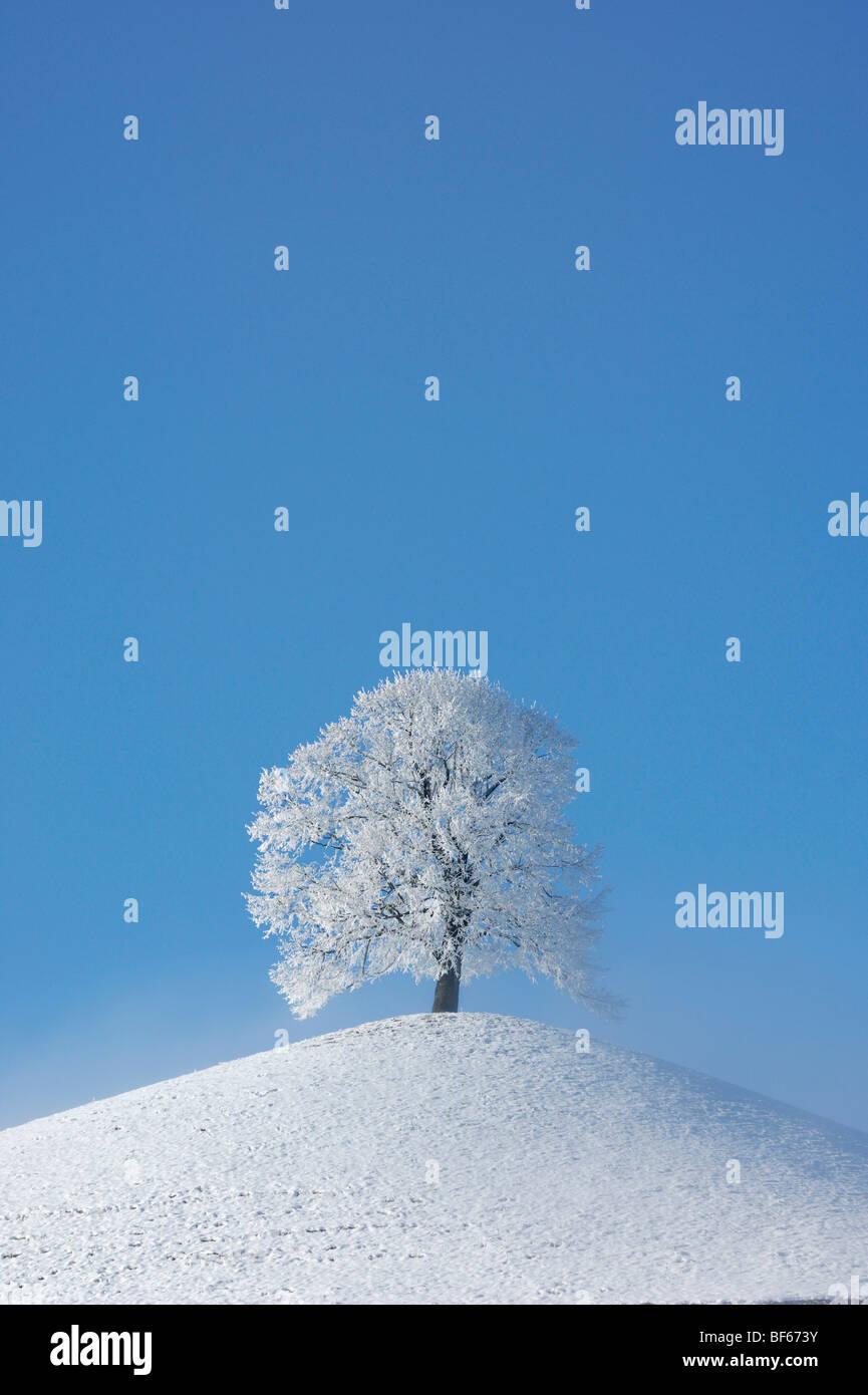 Linde (Tilia SP.), Kahler Baum mit Frost im Winter, Schweiz, Europa Stockbild