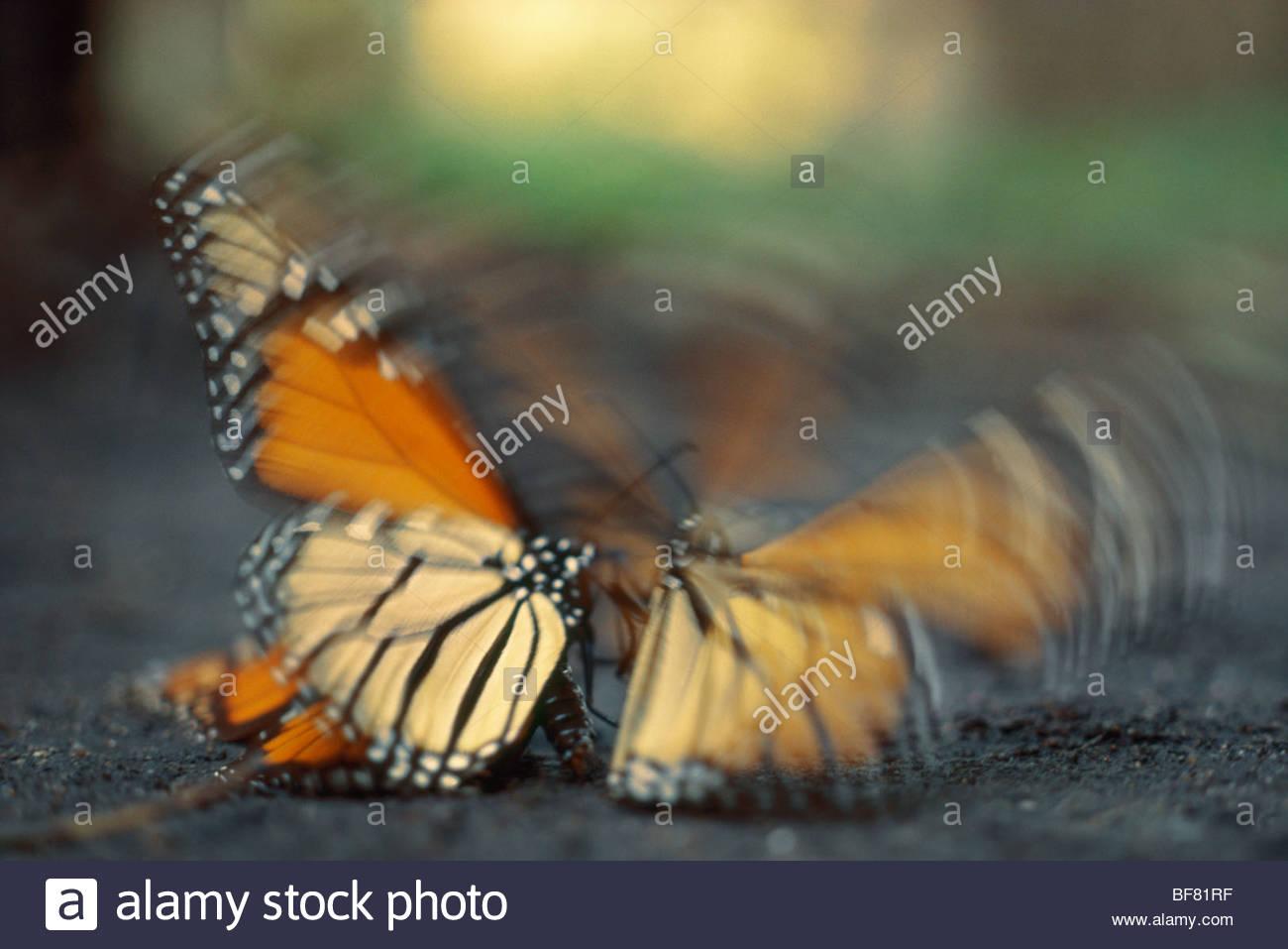 Monarchfalter Balz Kampf, Danaus Plexippus, Montery Bay Stockbild