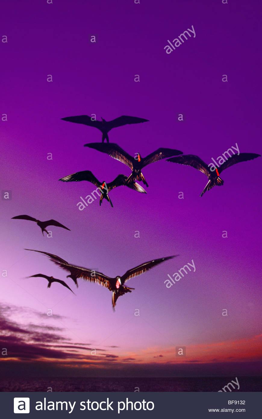 Großes Frigatebirds im Flug, Fregata minor, Galapagos-Inseln Stockbild