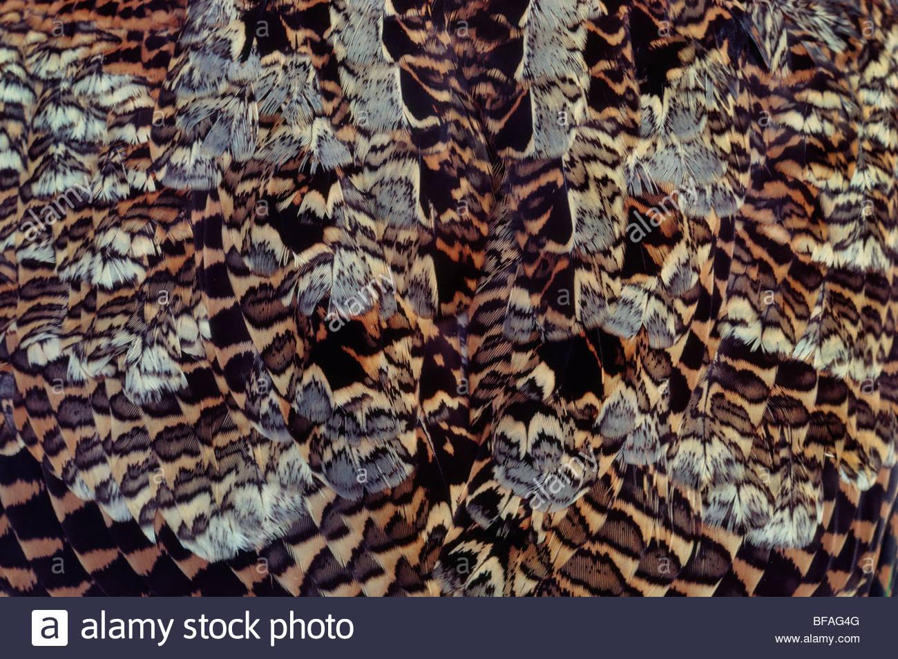 Amerikanische Waldschnepfe Rump Federn, Scolopax Moll, Nordamerika Stockbild