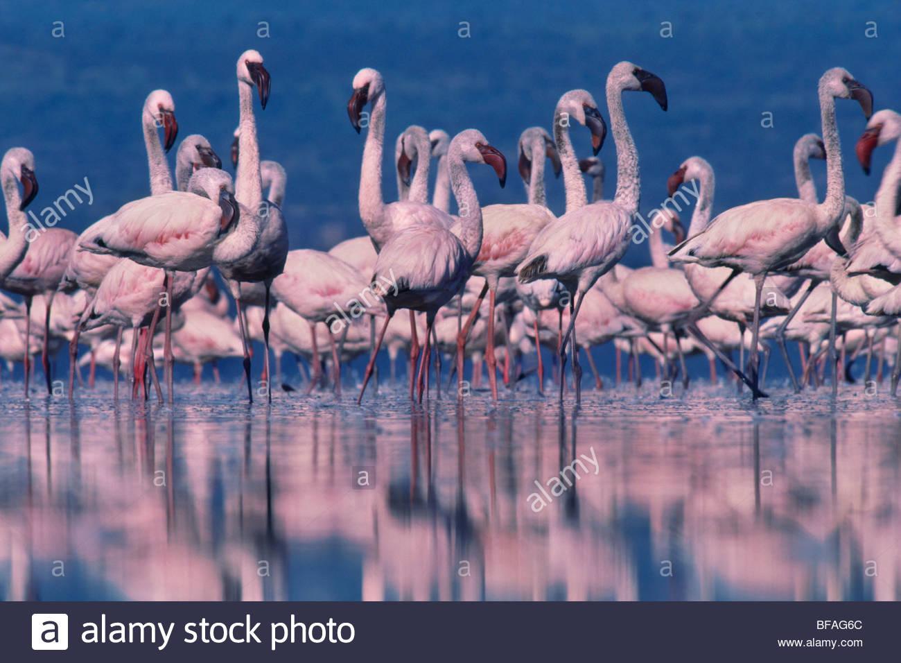 Flamingos, Phoenicopterus minor, Lake-Nakuru-Nationalpark, Kenia Stockbild