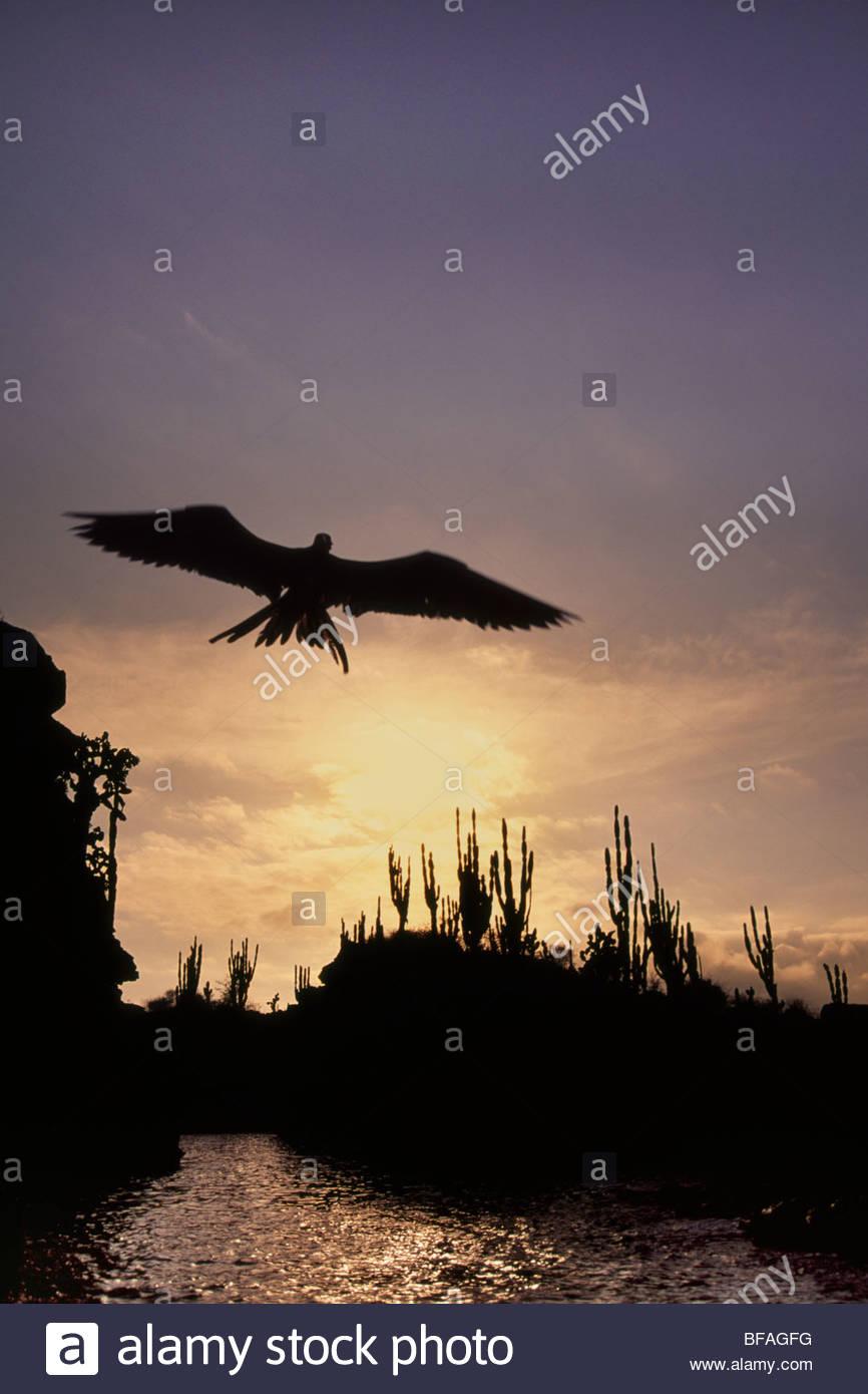 Herrliche Fregattvogel bei Sonnenuntergang, Fregata magnificens, Galapagos-Inseln Stockbild