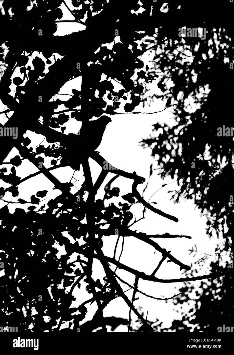 Silhouette von einem jungen Habicht (Accipiter Gentilis) Stockbild