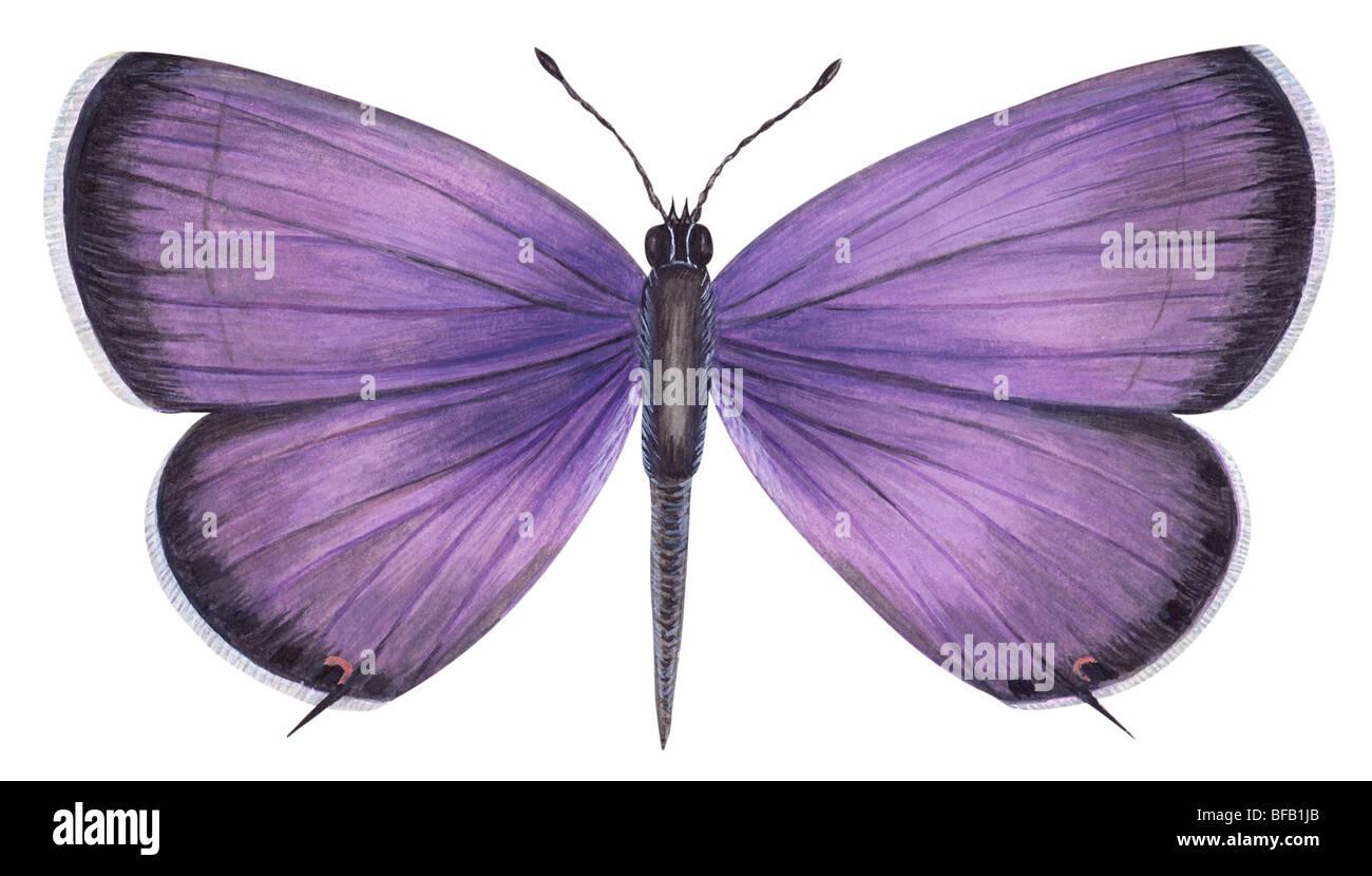 Östlichen tailed blaue Schmetterling. Stockfoto