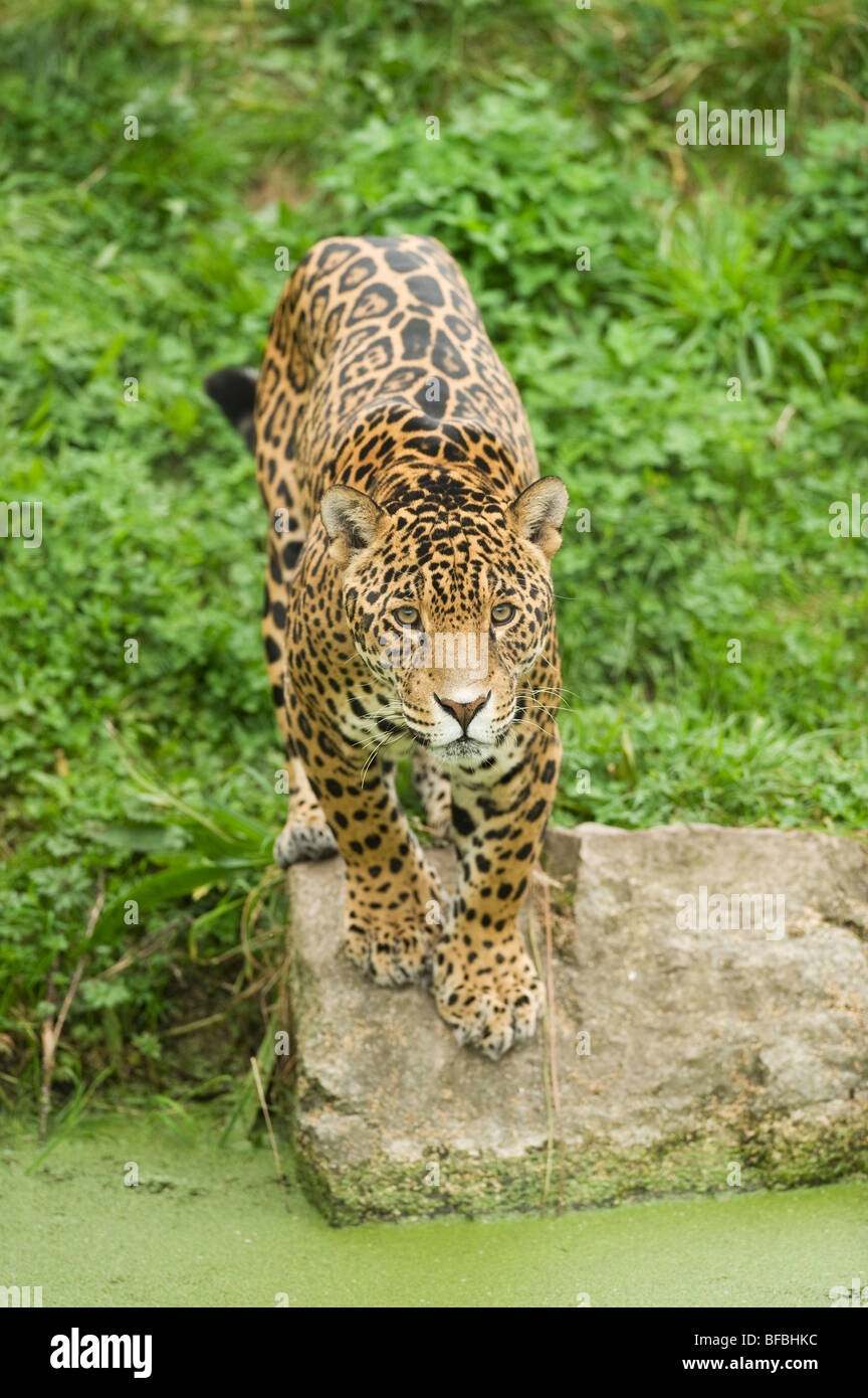Jaguar (Panthera Onca) Mittel- und Südamerika. In Gefangenschaft, Chester Zoo, UK Stockbild