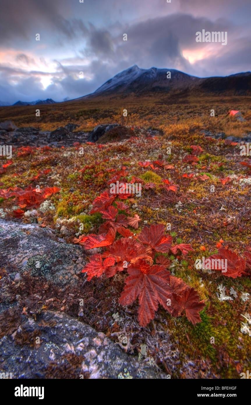 Vegetation auf der Tundra, Tombstone Territorial Park, Yukon, Kanada Stockbild