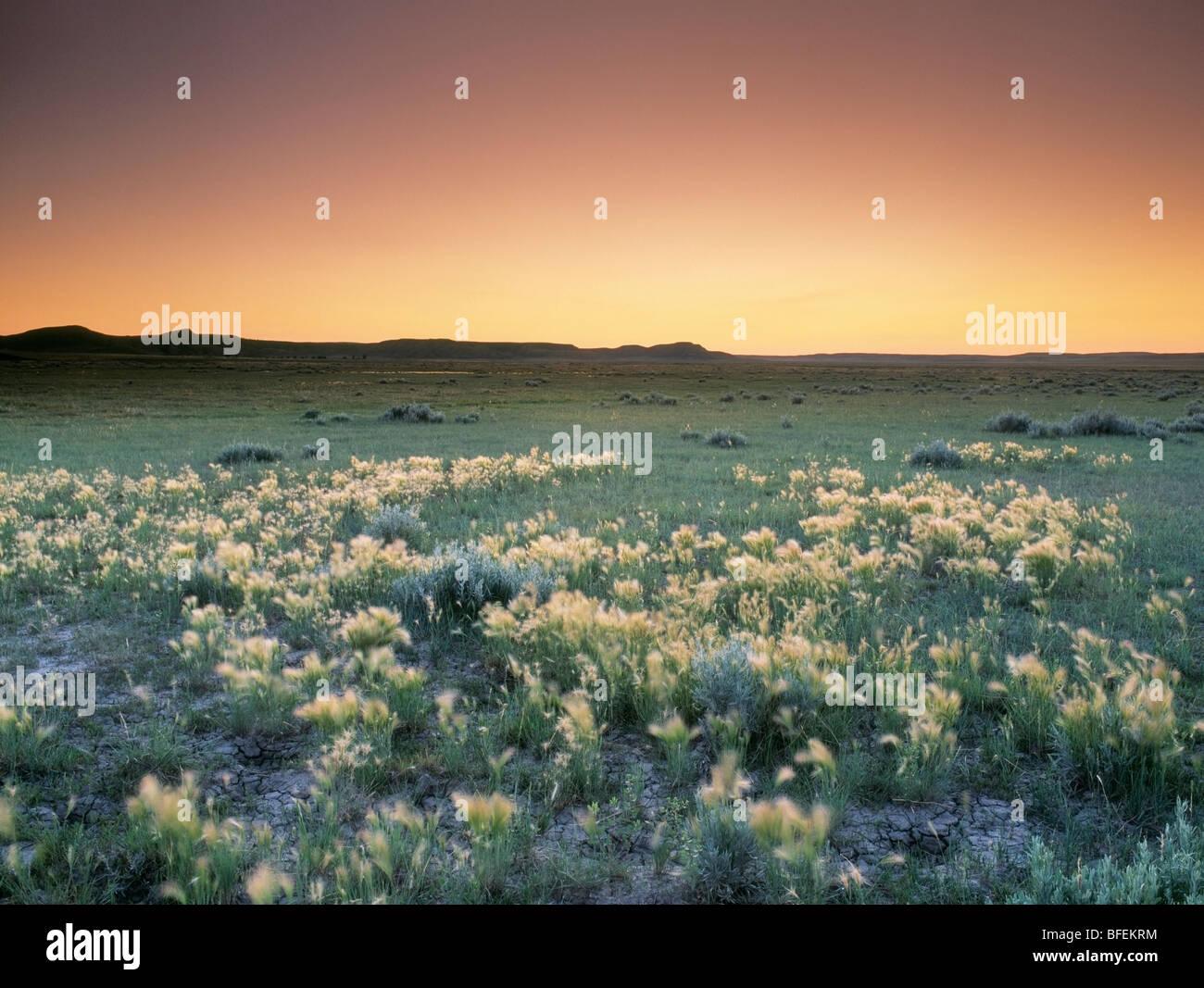 Bereich der Fuchsschwanz Gerste in West Block, Grasslands National Park, Saskatchewan, Kanada Stockbild