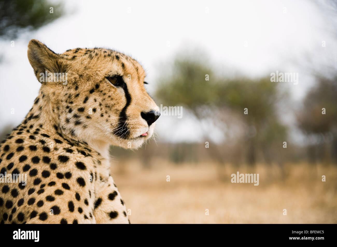 Savannah von der Seite Stockbild