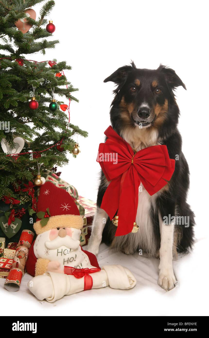 dog sitting christmas tree stockfotos dog sitting christmas tree bilder alamy. Black Bedroom Furniture Sets. Home Design Ideas