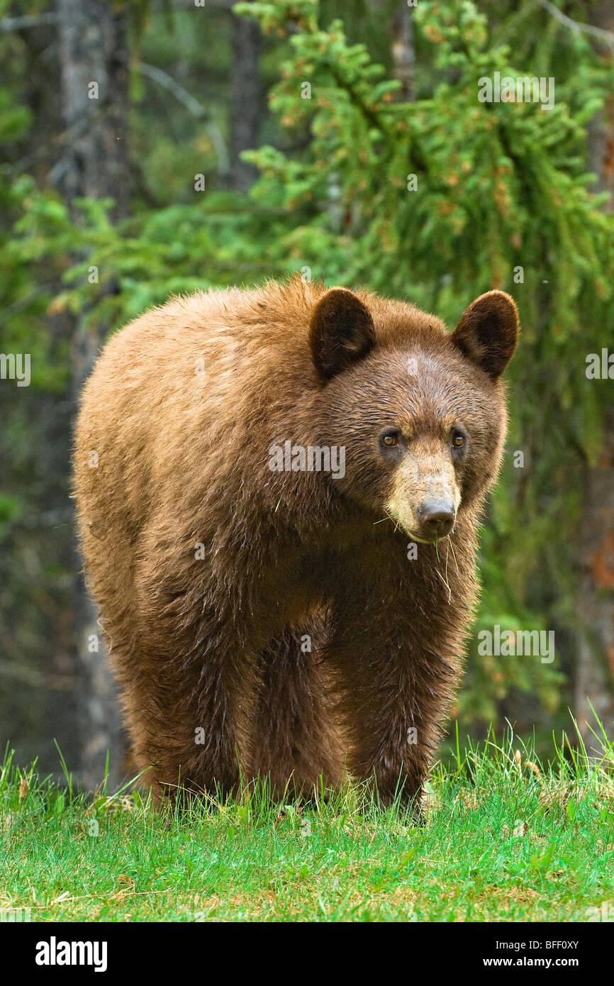 Zimtfarbenem amerikanischen Schwarzbären (Ursus Americanus), Rocky Mountains, westlichen Alberta, Kanada Stockbild