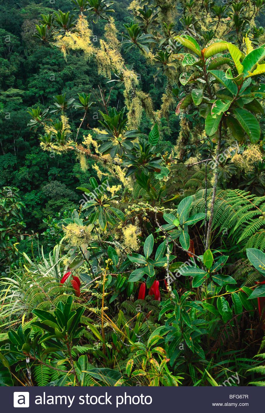 Flechten und Farne im bergigen Regenwald, Vilcabamba, Peru Stockbild