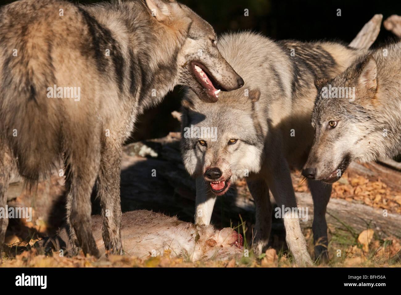 Wunderbar Alpha Wolf Rahmen Bilder - Bilderrahmen Ideen - szurop.info