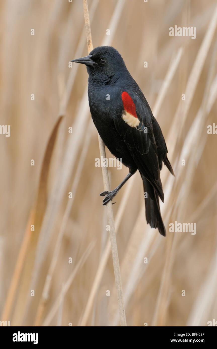 Dreifarbige Blackbird (Agelaius Tricolor) thront auf Reed im Sumpf Nistplatz, Kern County, Kalifornien, USA Stockbild