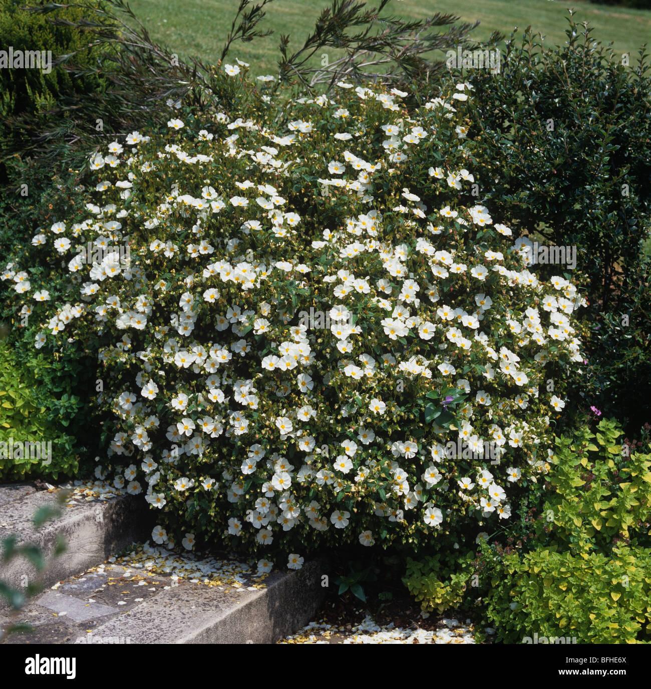 Cistus X Corbariensis Blütenstrauch Stockfoto