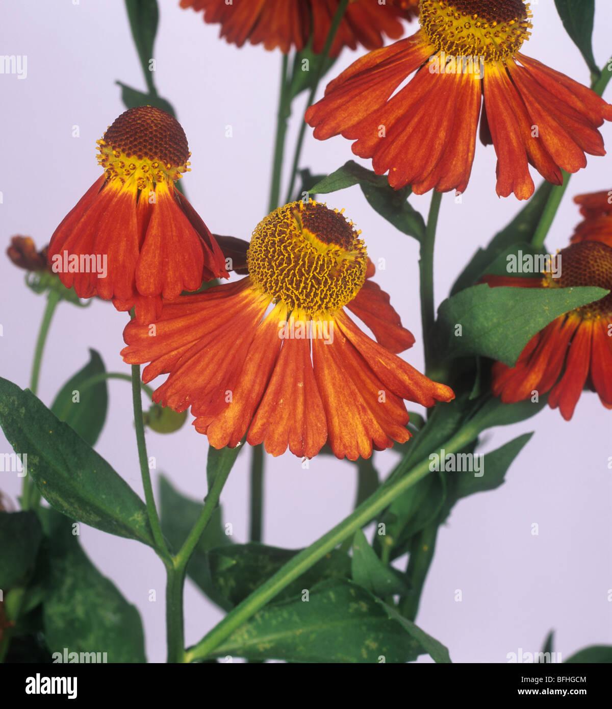 Helenium 'Moorheim Beauty' Blumen Stockbild
