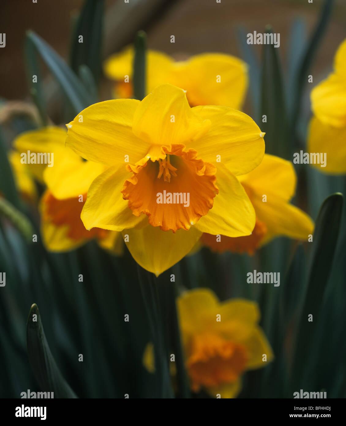 """Blumen des Narziss ' frühen Flamme """" Stockbild"""