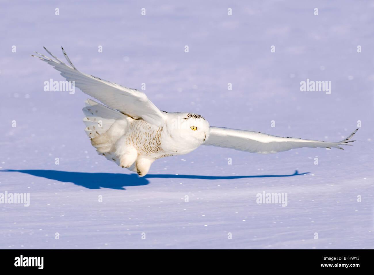 Jagd-Schnee-Eule (Bubo Scandiaca), Prairie, Alberta, Kanada Stockbild