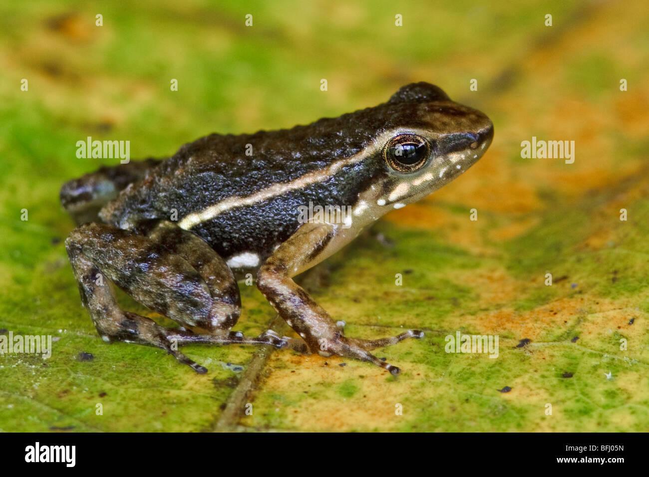 Ein Frosch, thront auf einem Blatt im Buenaventura Lodge in Südwest-Ecuador. Stockbild
