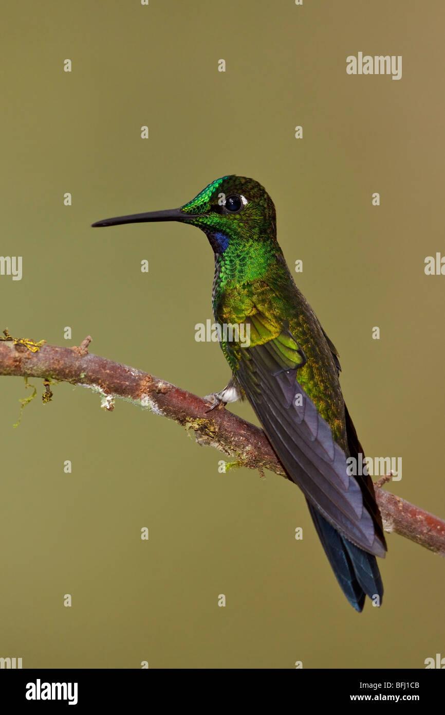 Grün-gekrönter brillant (Heliodoxa Jacula) thront auf einem Ast in Tandayapa Tal von Ecuador. Stockbild