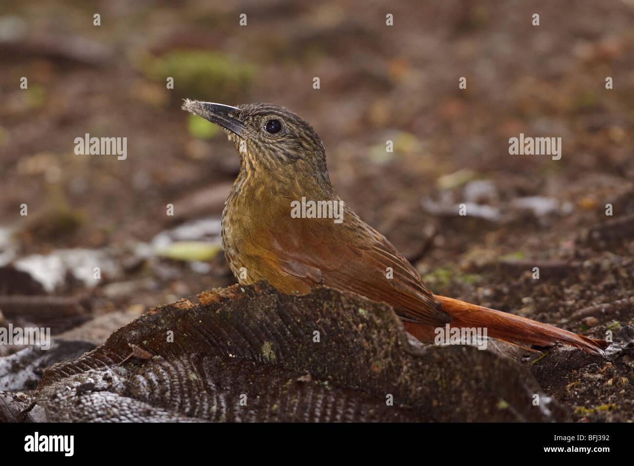 Streifen-capped Treehunter (Thripadectes Virgaticeps) in der Tandayapa Tal von Ecuador. Stockfoto