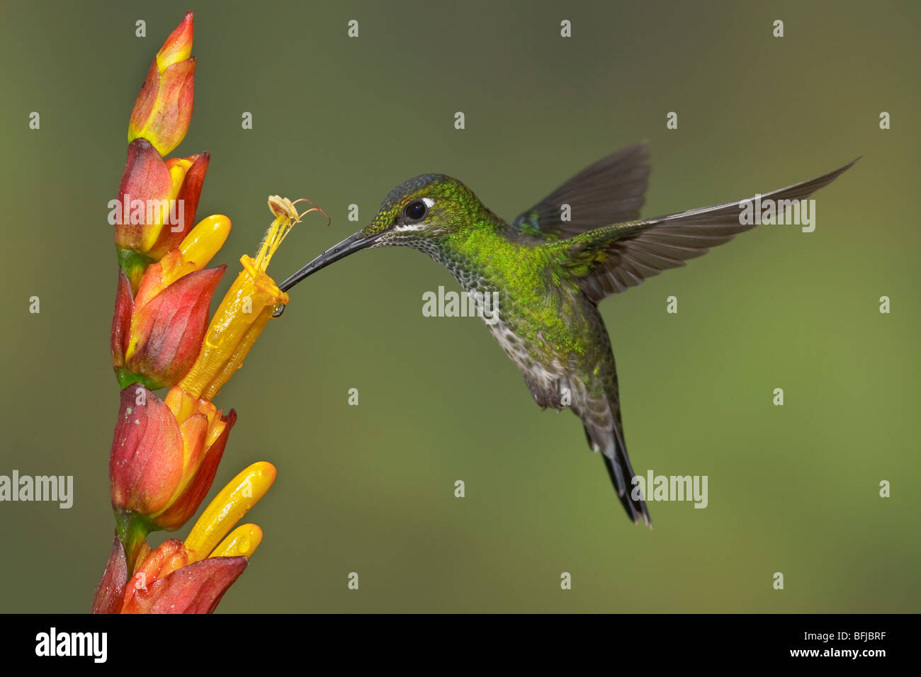 Grün-gekrönter brillant (Heliodoxa Jacula) Fütterung auf eine Blume während des Fluges im Milpe Stockbild