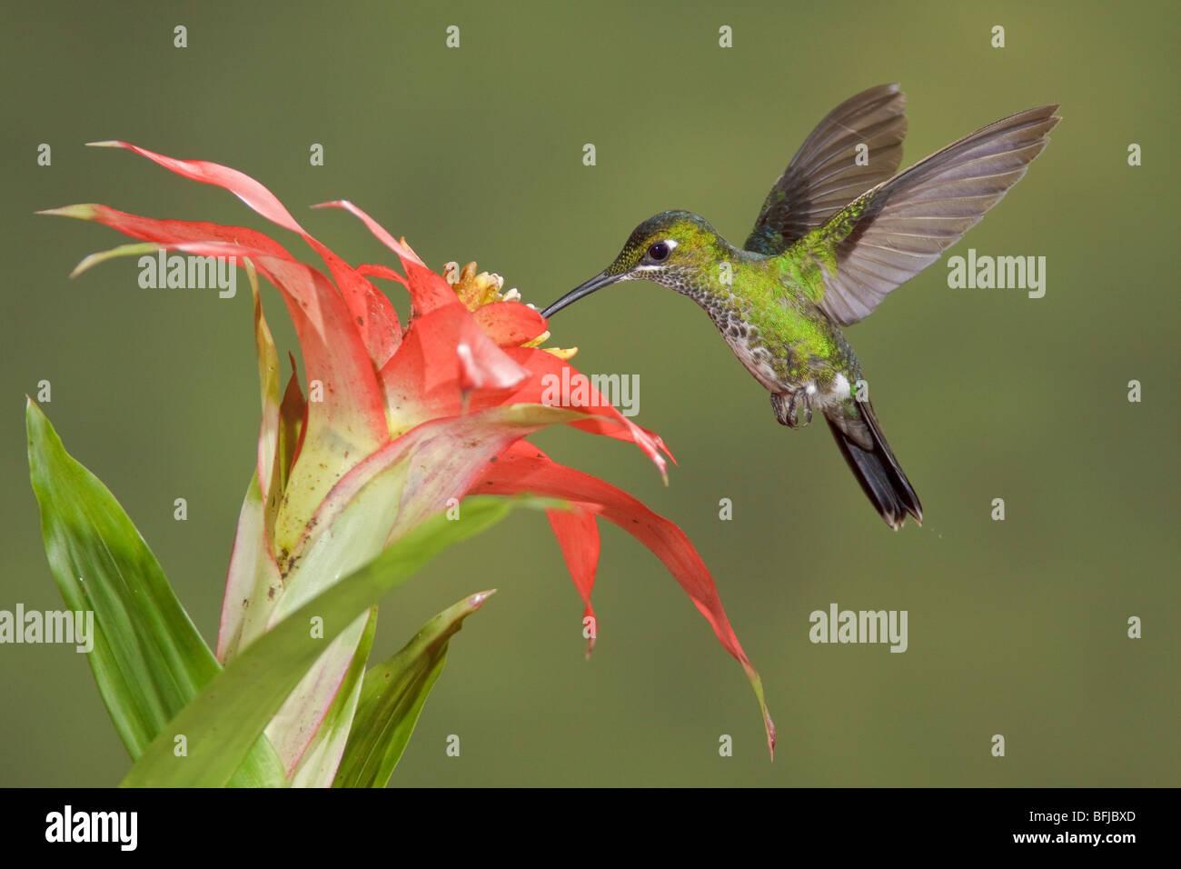 Grün-gekrönter brillant (Heliodoxa Jacula) Fütterung auf eine Blume während des Fluges in der Stockbild