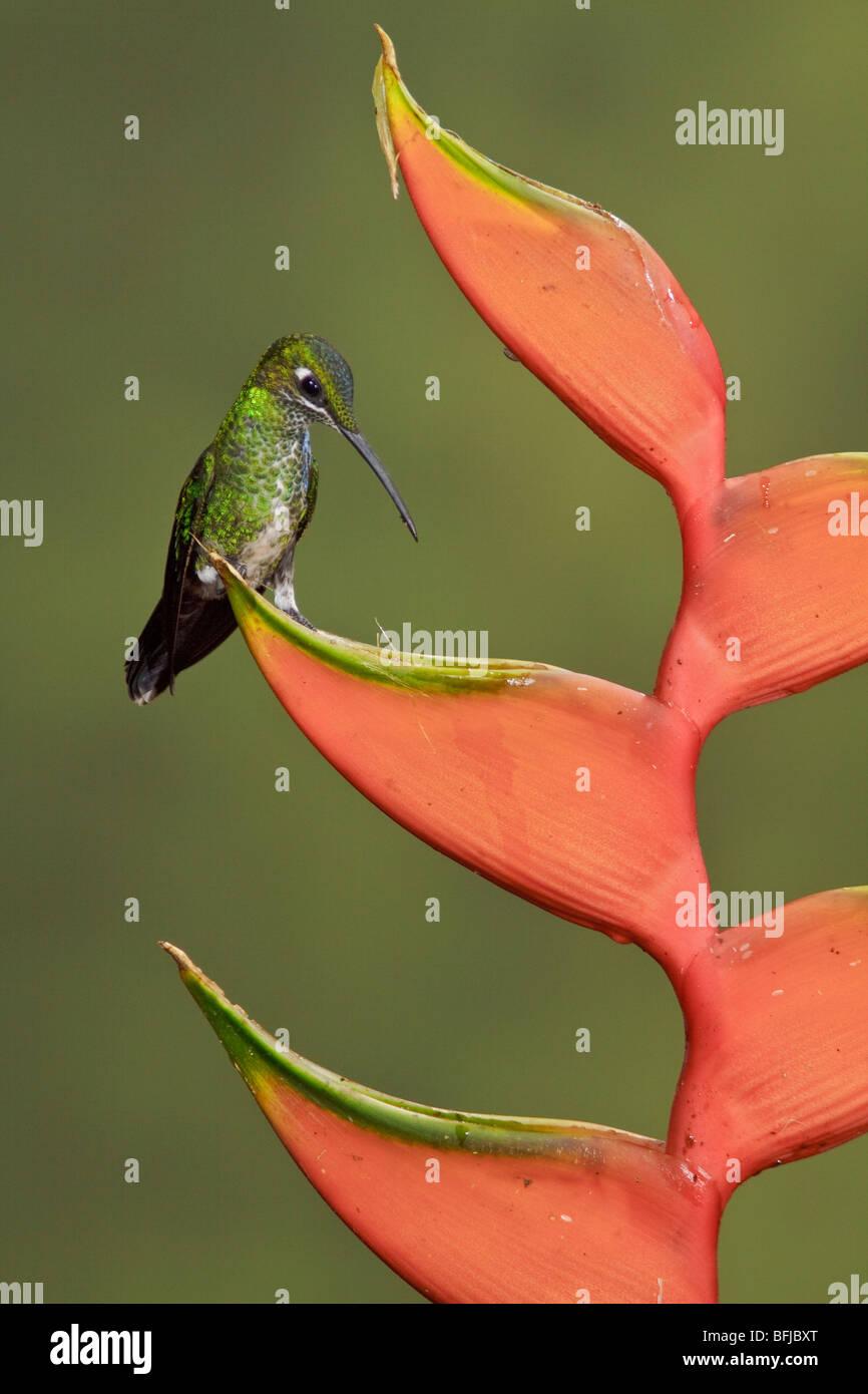 Grün-gekrönter brillant (Heliodoxa Jacula) thront auf einem Ast im Buenaventura Lodge in Südwest Stockbild