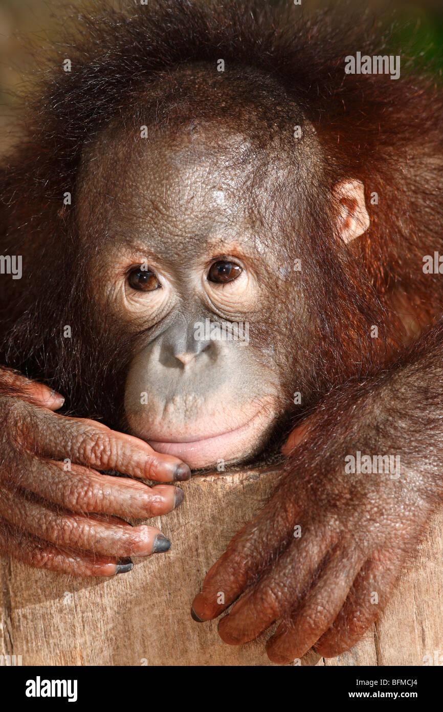 Bornean Orangutan, juvenile Stockfoto