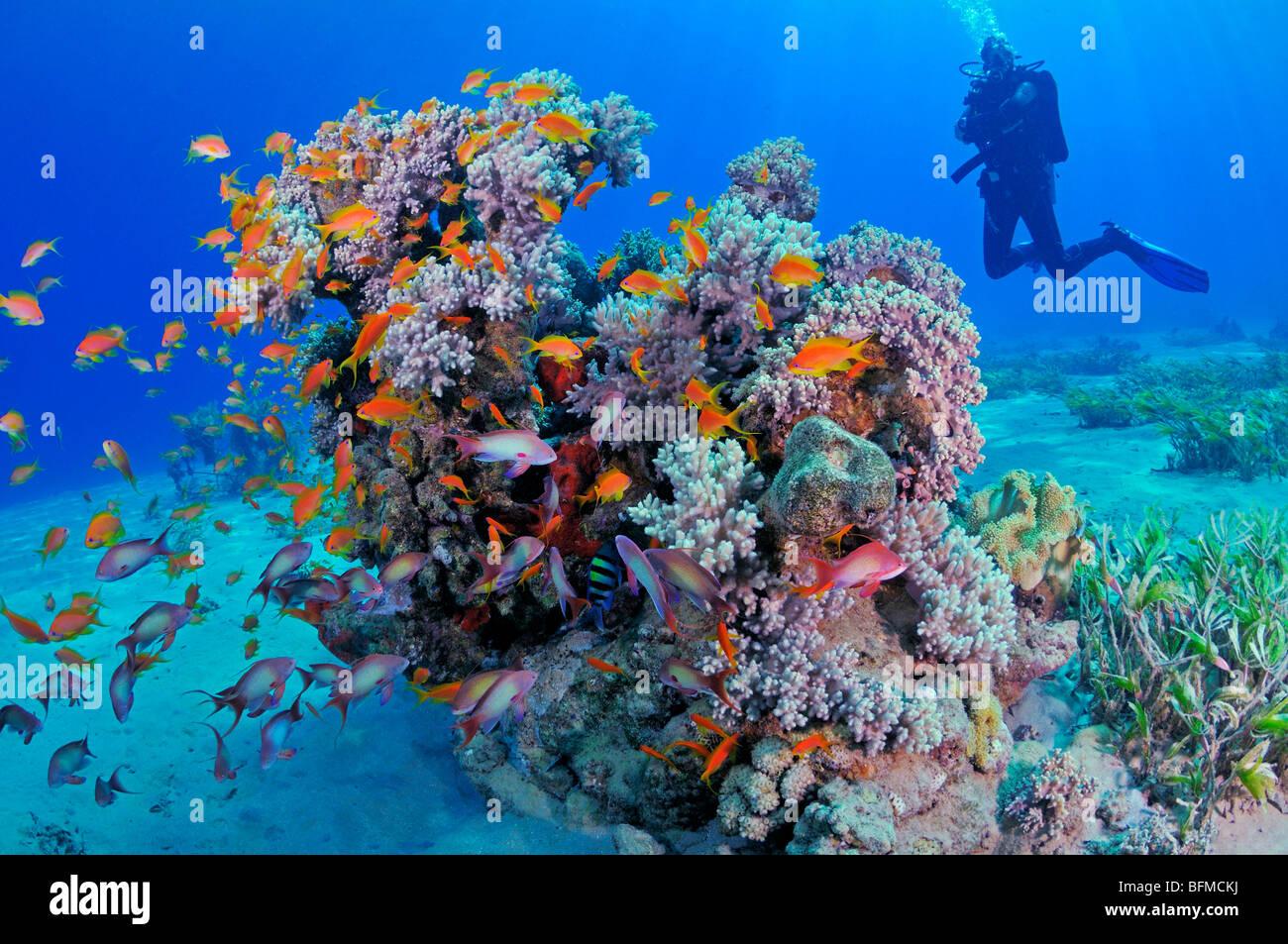 """Taucher und bunte Korallen-Riff-Fische. """"Rote Meer"""" Stockbild"""