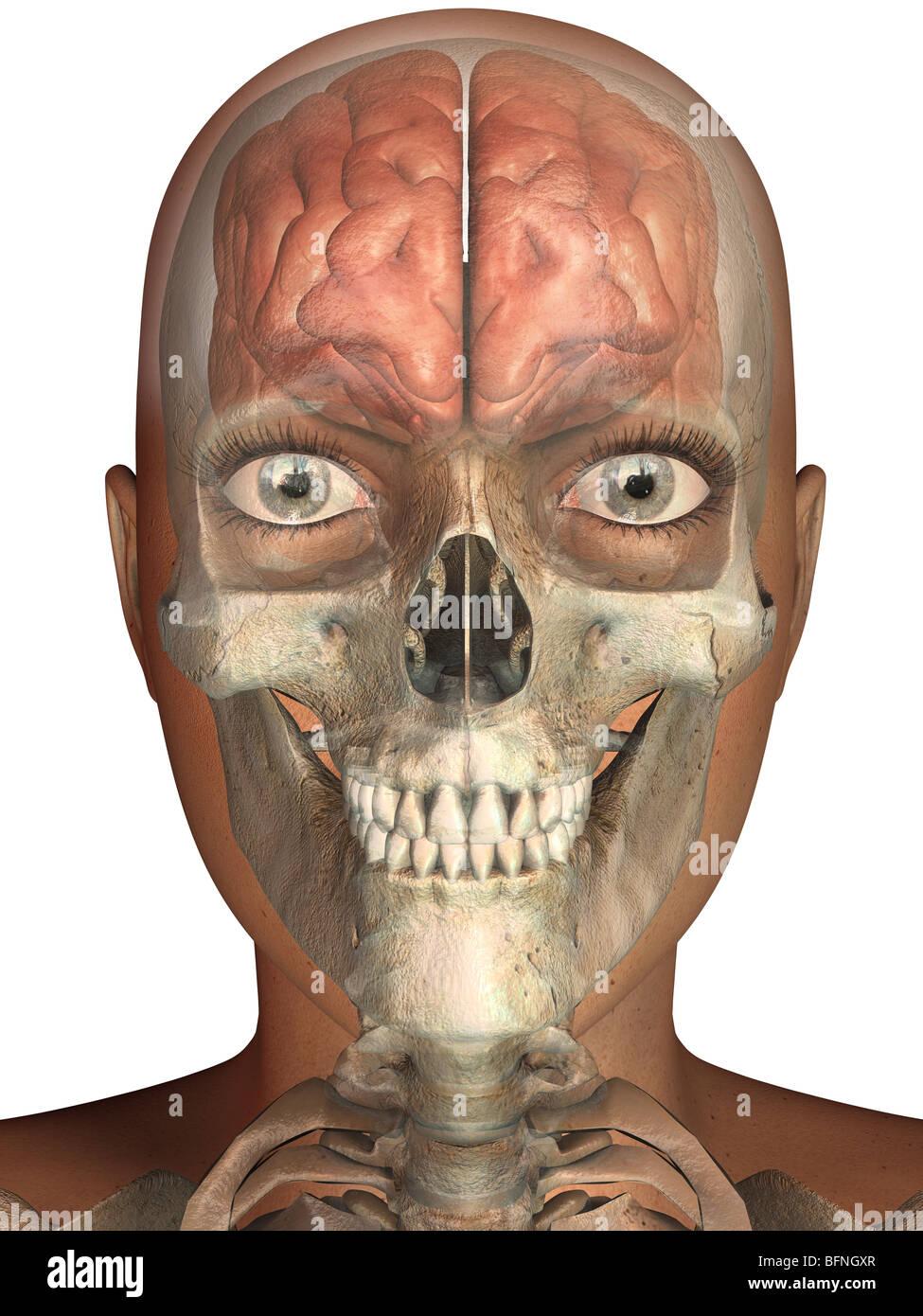 Frontal View Of Skull Stockfotos & Frontal View Of Skull Bilder ...