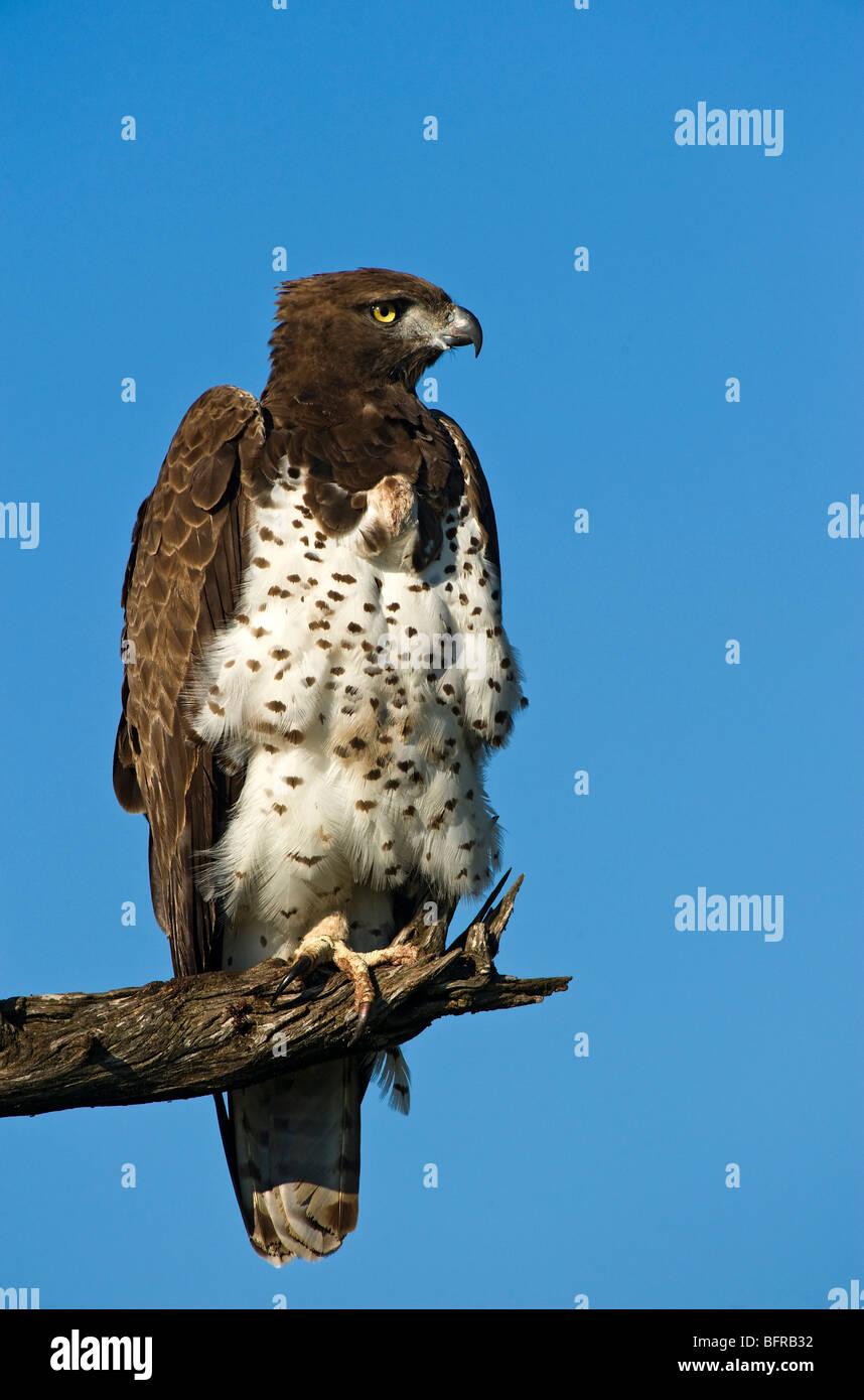 Kriegerischer Adler thront auf einem Ast vor einem strahlend blauen Himmel Stockbild