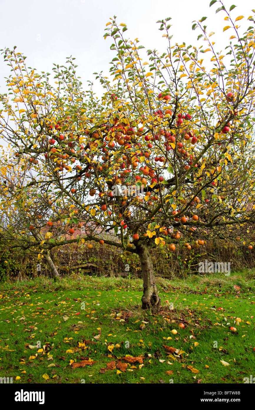 rote pfel im apfelbaum herbst obstgarten englischer garten warwickshire england vertikale